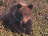Grizzly Bear (Ursus Arctos) With White Collar Looks At Camera And Scratches An Itch