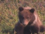 Grizzly Bear Cub (Ursus Arctos) With White Collar Looks At Camera And Eats Berries