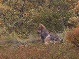 Young Gray Wolf (Canis Lupus) Sits Up Then Lies Down