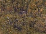 Gray Wolf (Canis Lupus) Walks Through Bushes