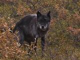 Black Wolf (Canis Lupus)