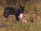 Gray Wolf (Canis Lupus) Pups Playing
