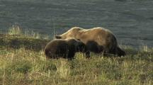 Grizzly Bear Cub (Ursus Arctos) Eating Berries, Mother Joins