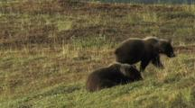 Grizzly Bears (Ursus Arctos) Resting And Walking