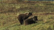 Grizzly Bears Cubs (Ursus Arctos) Playing