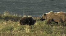 Grizzly Bear Cub And Mother (Ursus Arctos) Resting And Walking
