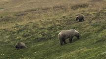 Grizzly Bear Mother And Cubs (Ursus Arctos) Eating Berries