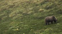 Grizzly Bear Cub (Ursus Arctos) Eats Grass
