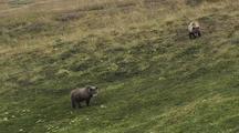 2 Grizzly Bear Cubs (Ursus Arctos) Graze On Grass