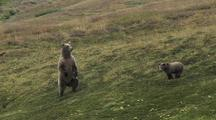 Grizzly Bear Mother (Ursus Arctos) Stands And Looks At Camera
