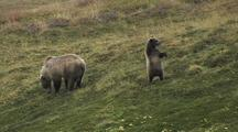 Grizzly Bear Mother And Cubs (Ursus Arctos), Cub Stands And Looks Around
