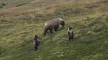 Grizzly Bear Mother And Cubs (Ursus Arctos), Cubs Stand And Look Around