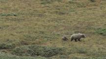 Grizzly Bear Mother And Cubs (Ursus Arctos), Walks Across Grass