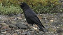Raven (Corvuz Corax)