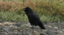 Raven (Corvuz Corax) Cawing