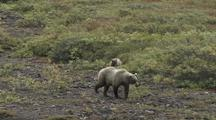 Grizzly Bear Mother And Cubs (Ursus Arctos), Walks Across Grass, Zoom Out To Reveal Valley