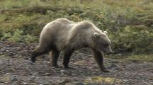 Grizzly Bear Mother And Cubs (Ursus Arctos)