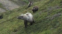Grizzly Bear Mother And Cubs (Ursus Arctos) Grazing