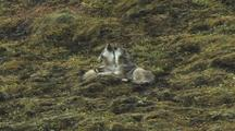 Wolf Pups/Yearings (Canis Lupus) Lay Next To Each Other And Howl