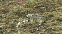 Wolf Pups/Yearings (Canis Lupus) Play And Howl