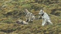 Wolf Mother And Pups/Yearings (Canis Lupus)