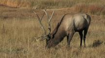Zoom In To Bull Elk (Cervus Elaphus) Grazing Near River