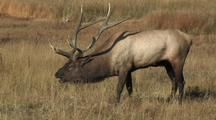 Zoom In To Bull Elk (Cervus Elaphus) Grazing Near River And Bugles