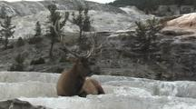 Bull Elk (Cervus Elaphus) Rests In Thermal Area