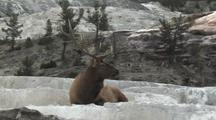 Bull Elk (Cervus Elaphus) Rests In Thermal Area