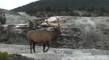 Bull Elk (Cervus Elaphus) Walks Through Thermal Area