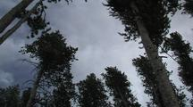 Tree Tops (Lodgepole Pine) Sway In Wind