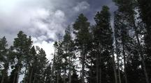 Trees (Lodgepole Pine) Sway In Wind