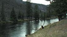 Bull Elk (Cervus Elaphus) Rests Near River And Tourists Approach