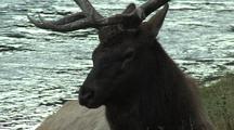 Bull Elk (Cervus Elaphus) Rests Near River
