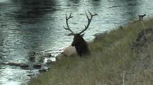 Bull Elk (Cervus Elaphus) Resting Near River With Cow And Calf