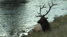 Bull Elk (Cervus Elaphus) And Calf Near River