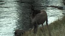 Elk Calf (Cervus Elaphus) Near River