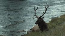 Bull Elk (Cervus Elaphus) Rests Near River