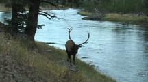Bull Elk (Cervus Elaphus) Walking Along A River