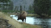 Bull Elk (Cervus Elaphus) Feeds Near River