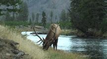 Bull Elk (Cervus Elaphus) Feeds Near River