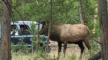 Bull Elk (Cervus Elaphus) Rubs Rack On Tree And Cars Pass In Background