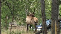 Bull Elk (Cervus Elaphus) Stands And Cars Pass In Background