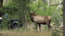 Bull Elk (Cervus Elaphus) Stands And Cars Pass In Background