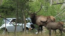 Bull Elk (Cervus Elaphus) Stands And Calf Joins, Cars Pass In Background
