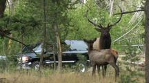 Bull Elk And Calf (Cervus Elaphus) Stand And Cars Pass In Background