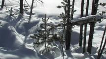 Sparkling Snow Falling On Baby Pine Tree (Lodgepole Pine, Pinus Contorta)