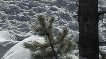 Sparkling Snow Falling On Tree (Lodgepole Pine, Pinus Contorta) Branch