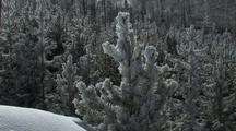 Snowy Pines And Sparkling Snow