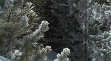 Close Up On Snowy Pines And Sparkling Snow